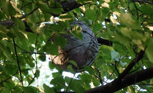 A huge wasp nest in a birch tree.